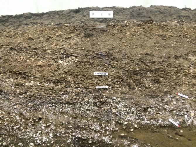 地表からすぐの地点で貝殻の層が見つかる