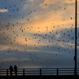 2977680 - bats flying out at sunset in austin, texas.
