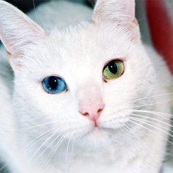 Gata blanca con ojos de distinto color